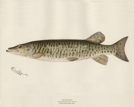 Fish Print of the Mascalonge from Chautauqua Lake by Sherman F Denton (1902)